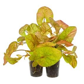 "Nymphaea gardneriana ""Santarem"""
