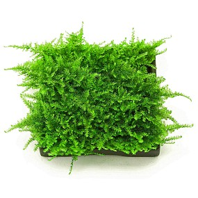 "Vesicularia sp. ""Mini Christmas Moss"" - Pad - 5 x 5 cm"