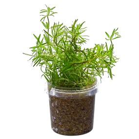 """Limnophila sp. """"Vietnam"""" - Topf"""