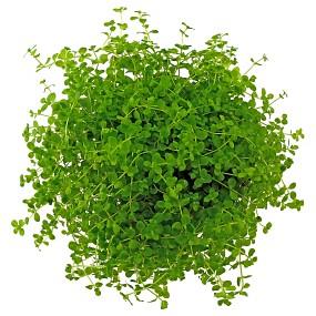 """Micranthemum sp. """"Montecarlo-3"""""""