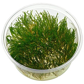 "Taxiphyllum sp. ""Flame Moss"" - in Vitro XL"