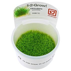 Utricularia graminifolia - 1-2-GROW!