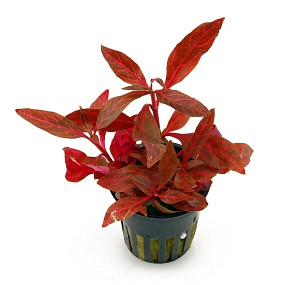 potted plant Alternanthera reineckii