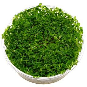 "Rotala sp. ""Green"" - in Vitro XL"