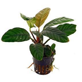 Anubias barteri var. coffeifolia - Topf