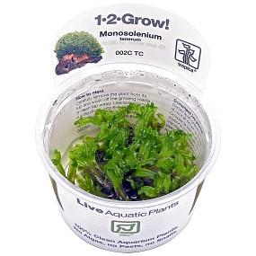 Monosolenium tenerum - 1-2-GROW!