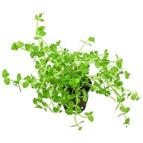 Lindernia rotundifolia 'Variegated' - Topf