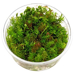 Rotala wallichii - in Vitro XL