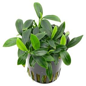 Anubias barteri var. nana 'Aquaflora Pangolino' - Topf