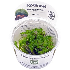 Monosolenium tenerum - 1-2-GROW!