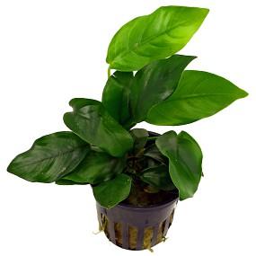 Topfpflanze Anubia barteri var nana