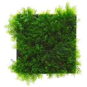 "Fissidens fontanus ""Phoenix Moss"" - Pad - 5 x 5 cm"