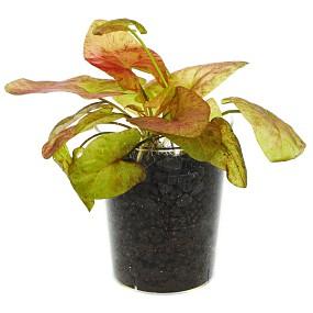 """Nymphaea gardneriana """"Santarem"""" - Einzelpflanze"""