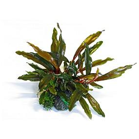 "Bucephalandra sp. ""Braun-rot Narrow"""