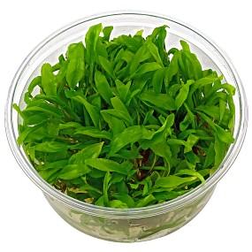 "Cryptocoryne wendtii ""grün"" - in Vitro XL"