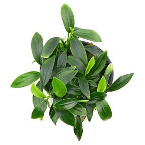 Anubias barteri var. nana 'Aquaflora Pangolino'