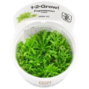Pogostemon helferi - 1-2-GROW!