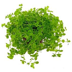 Micranthemum umbrosum