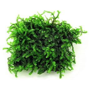 "Callicostella sp. ""Pancuraji"""