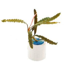 """Bucephalandra sp. """"Black Catherinae"""" - Einzelpflanze"""