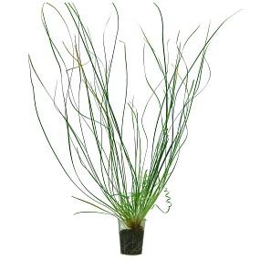 """Eriocaulon sp. """"Japan Needle Leaf"""" - Einzelpflanze"""