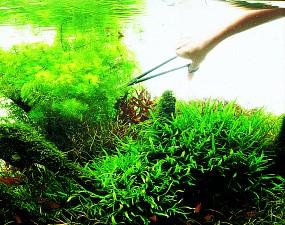ADA Zurückschneiden von Wasserpflanzen