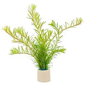 "Rotala rotundifolia ""Periya"" - Bund"