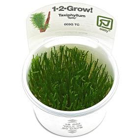 """Taxiphyllum sp. """"Spiky Moss"""" - 1-2-GROW!"""