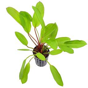 Echinodorus 'Green Chamäleon'