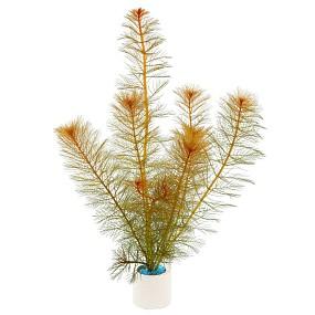 Myriophyllum tuberculatum - Bund