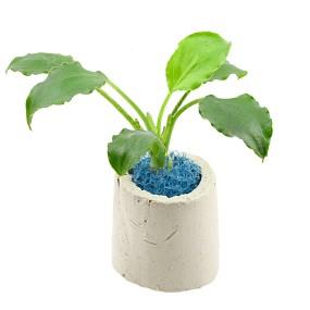 Schismatoglottis prietoi - Einzelpflanze