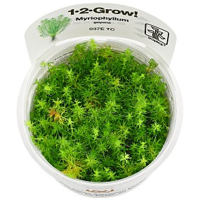 "Myriophyllum sp. ""Guyana"" - 1-2-GROW!"
