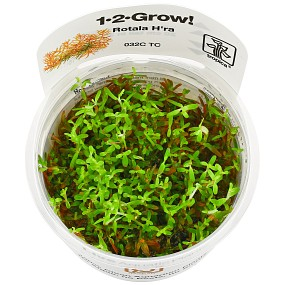 "Rotala sp. ""Gia Lai"" / ""H'Ra"" - 1-2-GROW!"