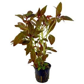 Ludwigia glandulosa - Topf