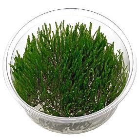 "Taxiphyllum sp. ""Spiky Moss"" - in Vitro XL"