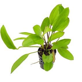 Echinodorus 'Green Chamäleon' - Topf