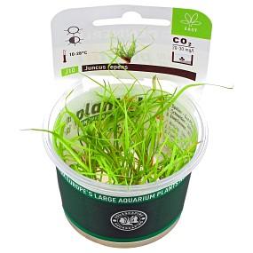 Juncus repens - Plant-It!