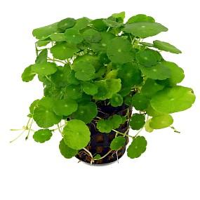 Hydrocotyle verticillata - Topf