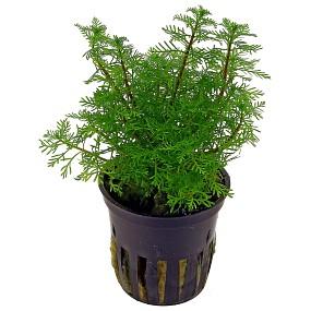 Myriophyllum mattogrossense - Topf