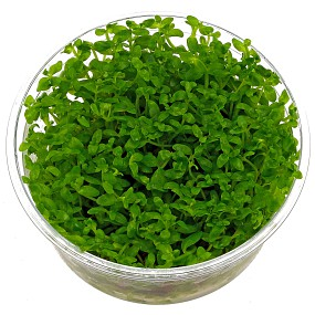 Bacopa australis - in Vitro XL