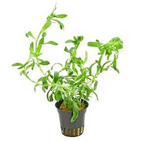 Heteranthera zosterifolia - Topf
