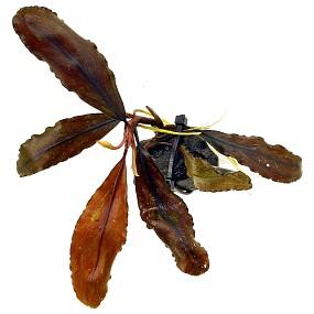 """Bucephalandra sp. """"Black Leaf"""" - Einzelpflanze"""