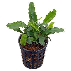 """Bucephalandra pygmaea """"Bukit Kelam / Sintang"""" - Topf"""