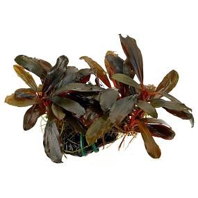"Bucephalandra sp. ""Braun-rot / Serimbu"""