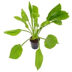 Echinodorus grisebachii 'Bleherae' - Topf