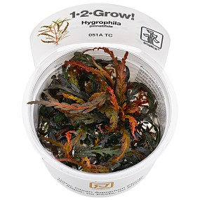 Hygrophila pinnatifida - 1-2-GROW!