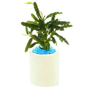 """Bucephalandra sp. """"Mini Catherinae"""" - Einzelpflanze"""