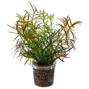 Ludwigia × lacustris - Bund