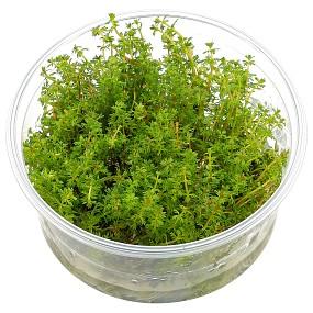 "Myriophyllum sp. ""Roraima"" - in Vitro XL"