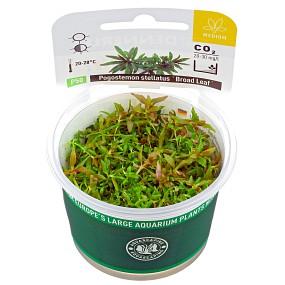 "Pogostemon stellatus ""Broad Leaf"" - Plant-It!"